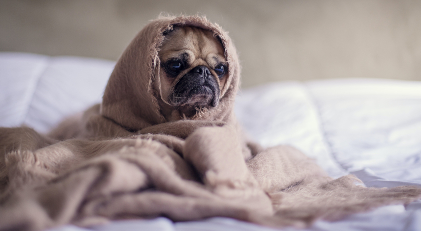 Pug wrapped in a blanket on a bed